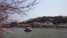 明石城  池周りと桜…