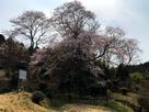 おぢゃう桜