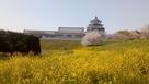 遠景 菜の花と桜…