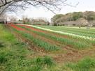 チューリップ咲き誇る詰の曲輪…
