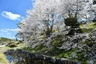 水堀横に桜咲く…