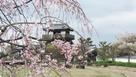 模擬天守と枝垂桜