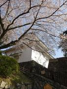 下から見上げる桜と東南隅櫓…