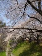 正門前の桜並木…