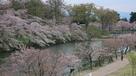 桜並木(上越市歴史博物館屋上から)…