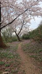桜とカタクリの花(本丸跡下)…