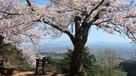 本丸阯満開の桜…