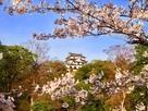 桜と天守遠景