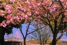 埋門からの姫路城と八重桜…