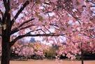 県立歴史博物館東側の八重桜…