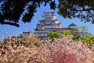 シロトピア記念公園の八重桜