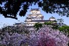 シロトピア記念公園の八重桜(日没後)