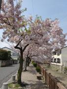 外堀通りの桜並木…