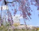 しだれ桜からの姫路城…