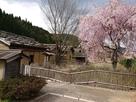 復原町並と桜