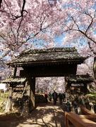 問屋門の桜