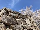 桜と矢穴(大手門石垣)…