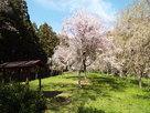 馬場跡の桜
