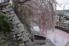 石垣と枝下桜