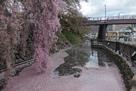 水堀と枝下桜