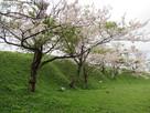 大土塁脇の桜