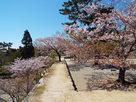 石垣上と桜