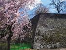 高石垣と枝垂桜…