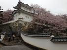 雨の龍野城と桜…