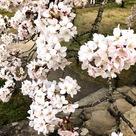 桜と石階段