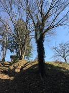 山城頂上近くの大木…