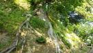 法面崩壊を防ぐ大樹…