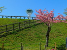 土塁。タワー・八重桜…
