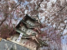 枝垂れ桜越しの天守…