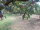 柿園を横切る登山道…