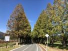 メタセコイア並木…