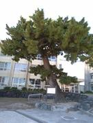 長島の大松(中部小学校校庭)…