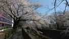 長沼城石碑から5分ほどの稲城市役所前の桜…
