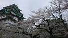 名古屋城と桜!…