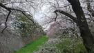 名古屋城、お堀と桜!…
