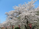 三の丸高石垣と桜…