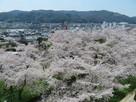 桜の海の二の丸…