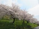 西側切岸の桜