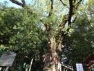 城址に立つ縁結びの老巨木…