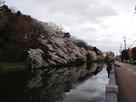 北西外堀の桜
