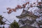 冬桜と天守