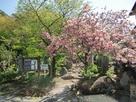 大日堂登城口の八重桜…