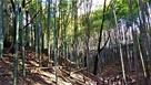 小机城 空堀の周りの竹林
