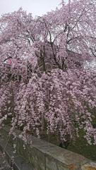 櫓と垂れ桜