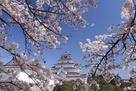 桜咲く鶴ヶ城