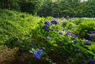 曲輪Ⅵの土塁と紫陽花…